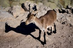 Goat in Gredos. Little goat in Gredos, Spain Royalty Free Stock Photos