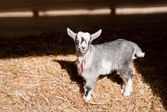 Little goat Stock Image