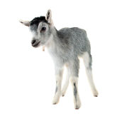 Little goat isolated. On white background royalty free stock photo