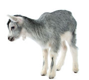 Little goat isolated Stock Photography