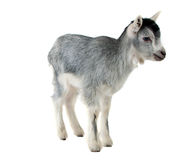 Little goat isolated Stock Image