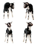 Little goat isolated. On white background royalty free stock images