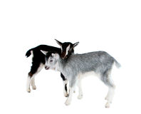 Little goat isolated Royalty Free Stock Photos