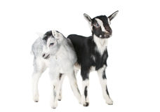Little goat isolated Royalty Free Stock Image