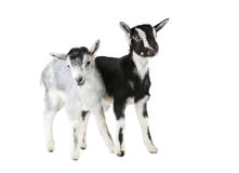 Little goat isolated Stock Photos