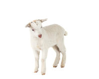 Little goat isolated Royalty Free Stock Images