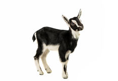 Little goat isolated Stock Images