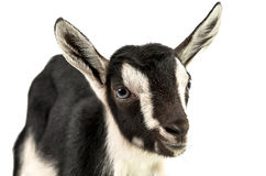 Little goat isolated Royalty Free Stock Photo