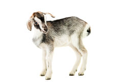 Little goat isolated Royalty Free Stock Photography