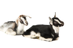 Little goat isolated. On white background royalty free stock image