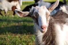 Little goat, kid Stock Photos
