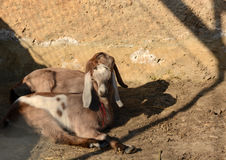 Little goat kids lie and bask in the sun. Close up Stock Image