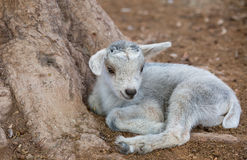 Little goat lying Royalty Free Stock Images