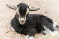 Little goat lies on a farm in the sandy ground stock photos