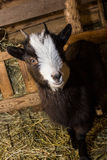 Little goat in the manger. Goat on the hay in a wooden pen Stock Image