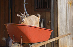 Little goat plays in a red wheel barrow. Royalty Free Stock Photos