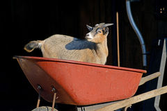 Little goat plays in a red wheel barrow. Stock Images