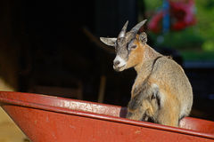 Little goat plays in a red wheel barrow. Royalty Free Stock Image