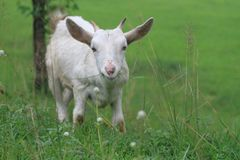 Little goat royalty free stock photo