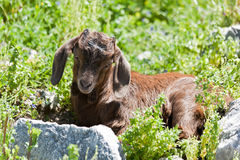 Little goat. Royalty Free Stock Image