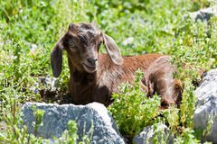 Little goat. Royalty Free Stock Photo