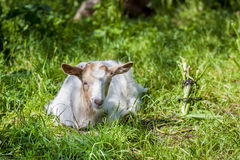 Little goat resting in the grass Royalty Free Stock Images