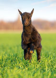 Little goat run in green meadow royalty free stock image