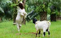 The little goat shine the bigger goat. In oil palm plantation at Thailand royalty free stock photography