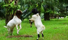 The little goat shine the bigger goat. In oil palm plantation at Thailand royalty free stock image