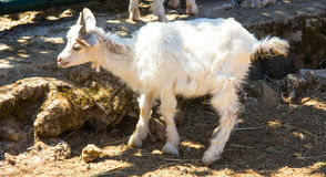 Little Goat Stock Photography