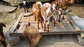 Little goat standing on wooden platform Stock Photo
