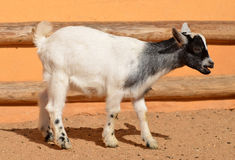 Little goat Royalty Free Stock Images