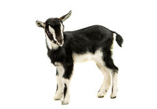 Little goat. On a white background royalty free stock image