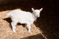 Little goat Royalty Free Stock Photography