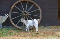Little goat Stock Images