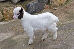 Little goatling Stock Images