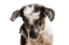 Little goatling. On a white background royalty free stock image