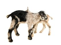 Little goatling. On a white background royalty free stock photo