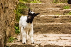 Little goatling. Looking in camera stock photography