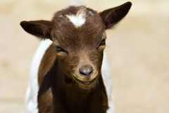 Little goatling Stock Photo