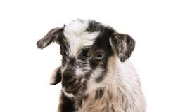 Little goatling. On a white background stock photos