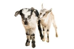Little goatling. On a white background royalty free stock images