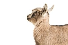 Little goatling. On a white background royalty free stock photos