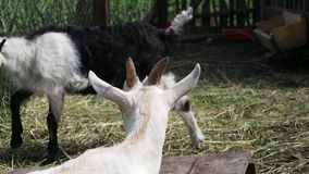 Little goats in the barnyard. Rural scene. Little goats in the barnyard stock video footage