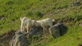 Little Goats Butting On Meadow stock video footage