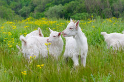 Little goats. While eating the grass Royalty Free Stock Photo