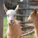 Little goats at farm Royalty Free Stock Image