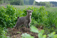 Little goats graze. Royalty Free Stock Photography