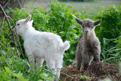 Little goats graze. Stock Images