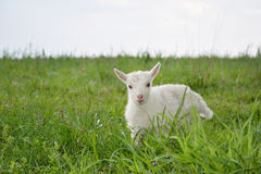 Little goats graze. Royalty Free Stock Images